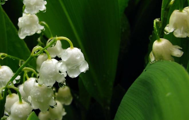 Maiglöckchen - Blüte © Ernst Frühmann