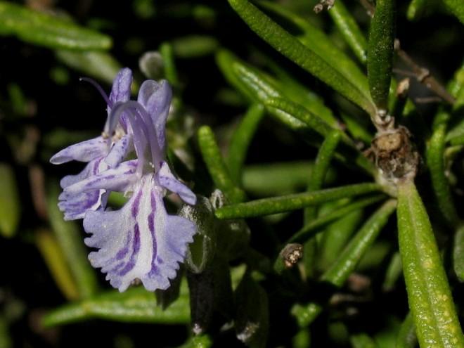 Rosmarin - Blüte © Ernst Frühmann