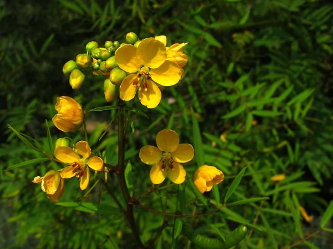 Senna - Blüte © Ernst Frühmann