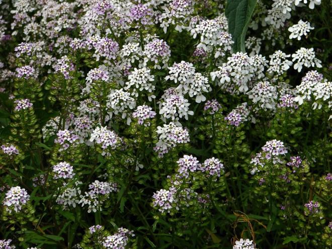 Bittere Schleifenblume  © Ernst Frühmann