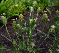 Flohsamen - Pflanze © Ernst Frühmann