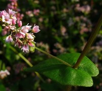 Buchweizen Pflanze