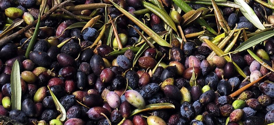 Olivenbaum © Ernst Frühmann