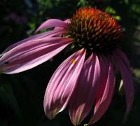 Sonnenhut Blüte © Ernst Frühmann