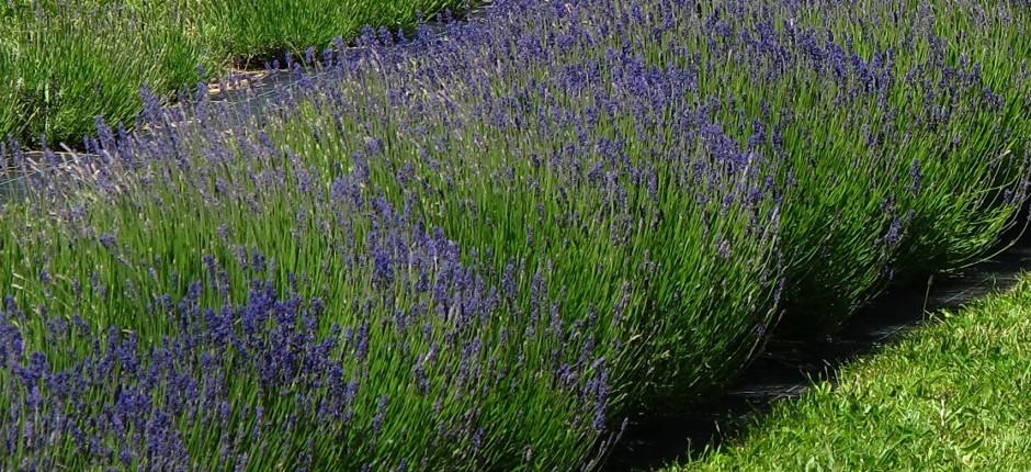 Echter Lavendel © Ernst Frühmann