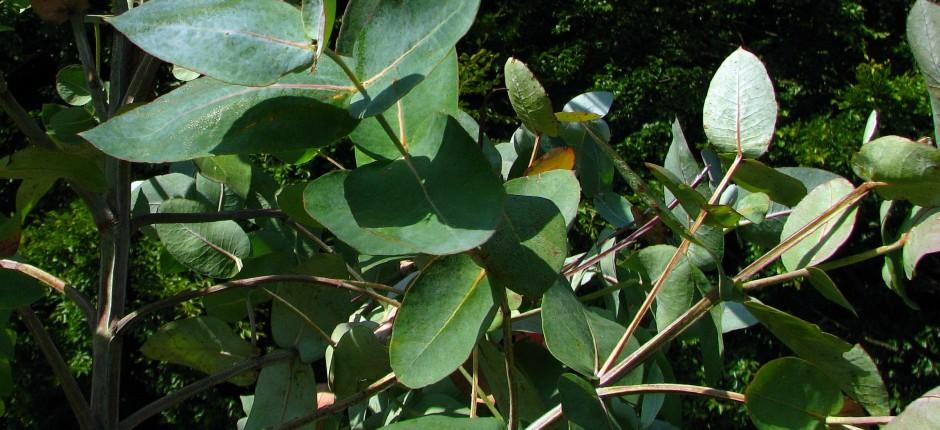 Eukalyptus © Ernst Frühmann